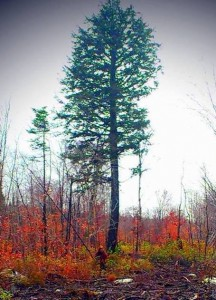 Maine Bigfoot photographed near Mount Katahdin.