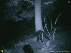 Bigfoot in Pennsylvania.